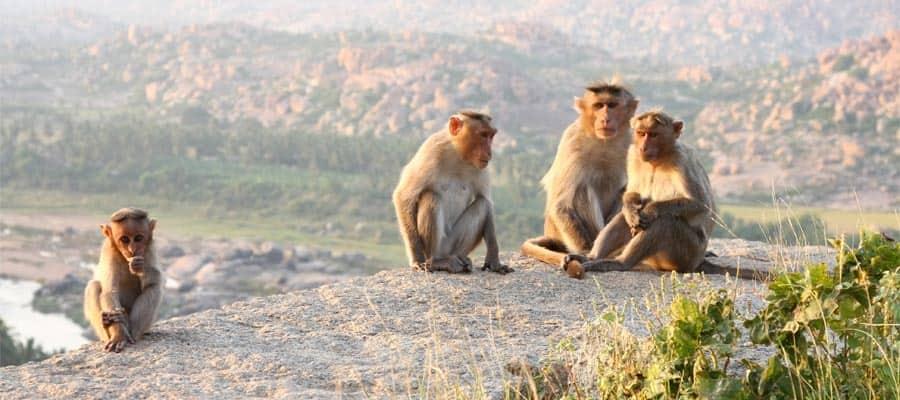 Friendly Monkeys on your Mormugao Goa Cruise