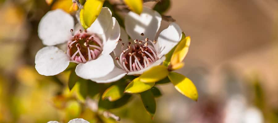 Manuka flower on a Napier Cruise