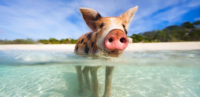 Great Stirrup Cay, Bahamas Swim with the Pigs Excursion