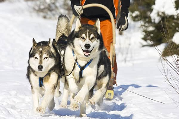 Experience Dog Sledding in the Sled Dog Kennel Tour
