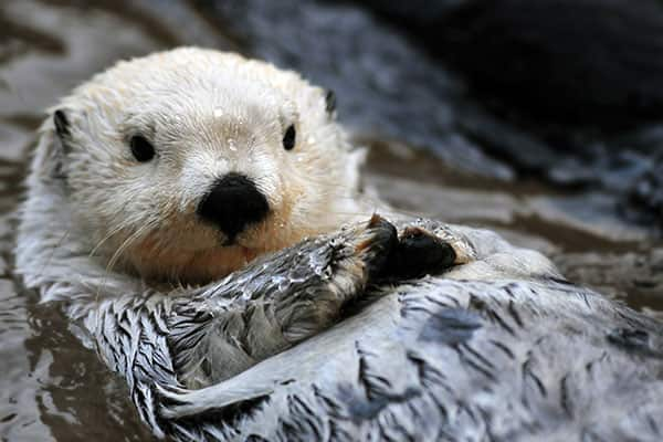 Arctic Sea Otter on an Alaskan cruise