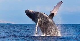Observación de ballenas en Maui