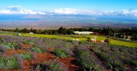 Vodca oceânica, jardim botânico & cultivo de lavanda