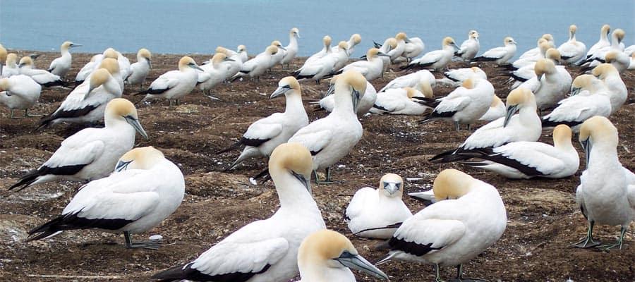 Colônia de gansos-patola em um cruzeiro para Dunedin