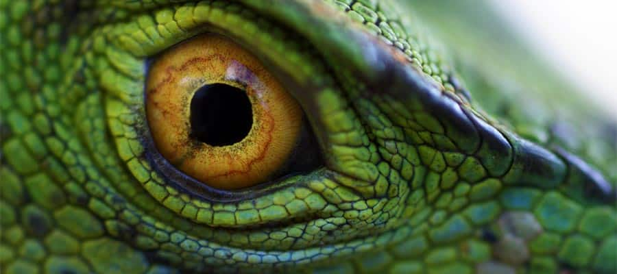 Eye of green basilisk