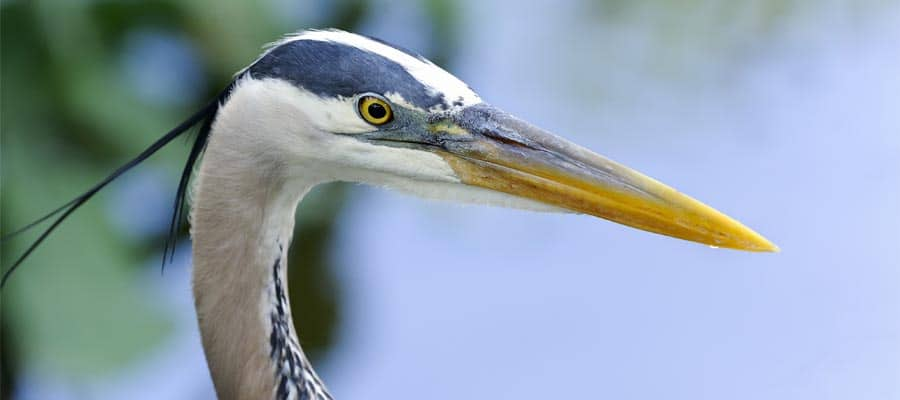 Spot Great blue heron on Orlando Cruises