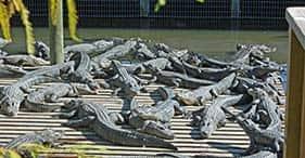 Gatorland w/ Gator Gaunlet Zip Line