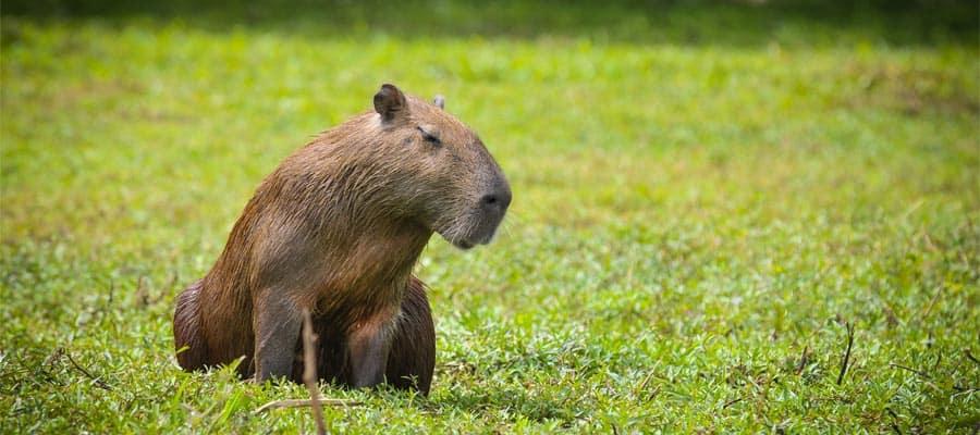 Capybara in Punta Del Este