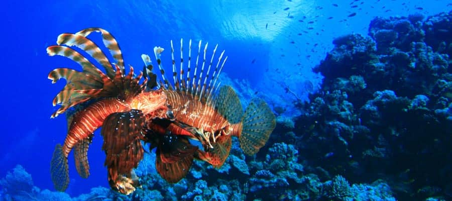 Lionfish in St. Maarten