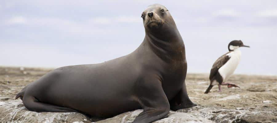 Female of south american sea lion