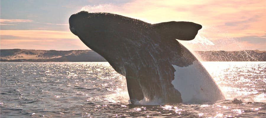 Humpback whales in Puerto Madryn
