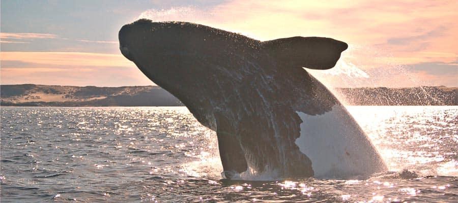 Ballenas jorobadas en Puerto Madryn