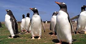 Pinguins-gentoo em Newans Farm