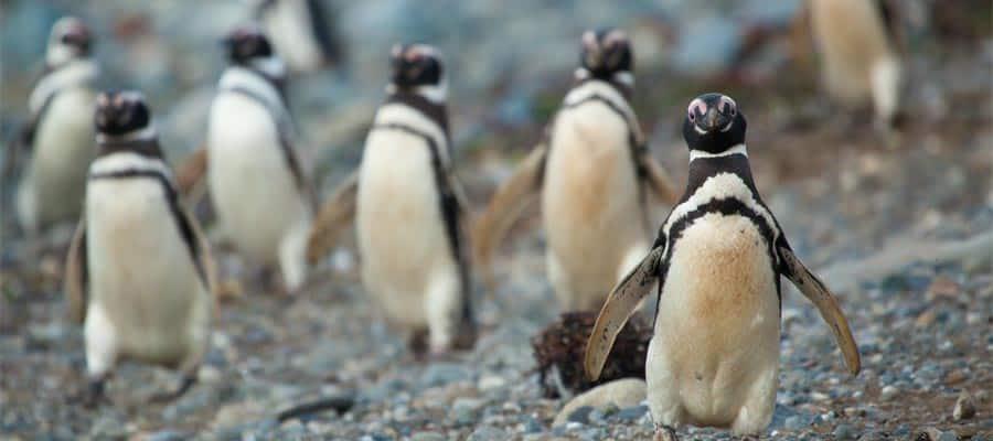 Pingüinos amigables en Punta Arenas