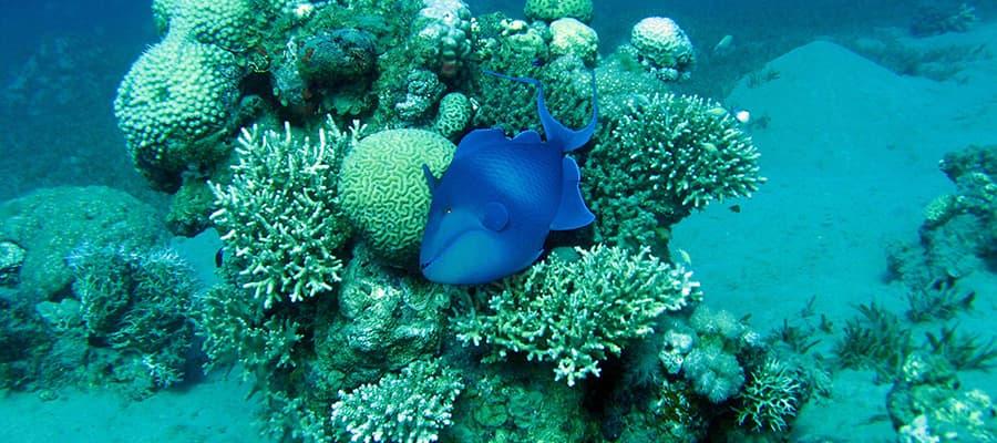 Pez ballesta de dientes rojos en un arrecife de coral en cruceros a Safaga