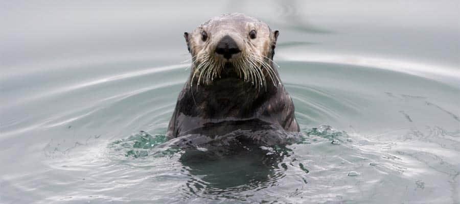 Alaskan sea otter