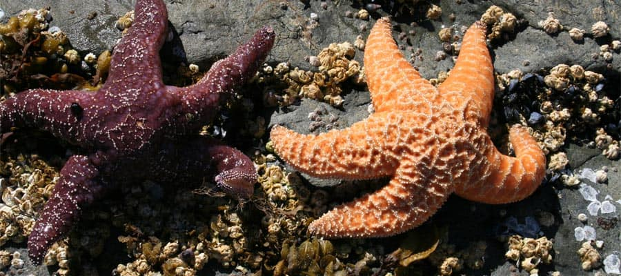 Starfish in Sitka