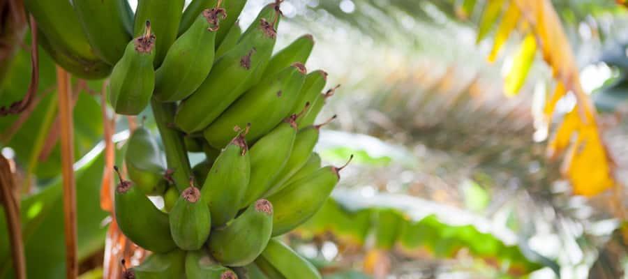 サラーラクルーズで見るバナナの木