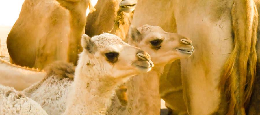 Camellos bebé en tu crucero a Omán