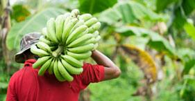 The Tale of St. Lucia's Banana