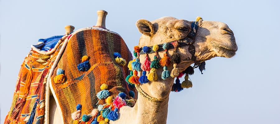 African camel on a cruise to Sharm el Sheikh