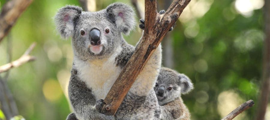 Koalas in Sydney