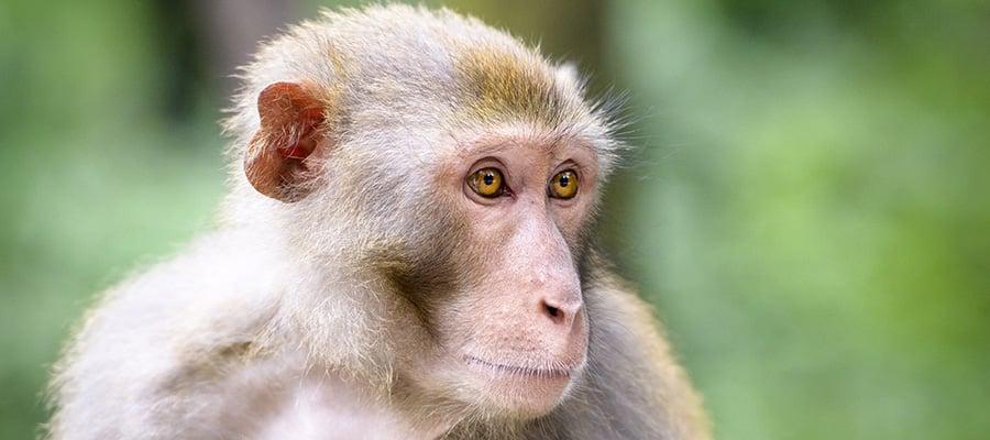 Macacos em seu cruzeiro na Ásia