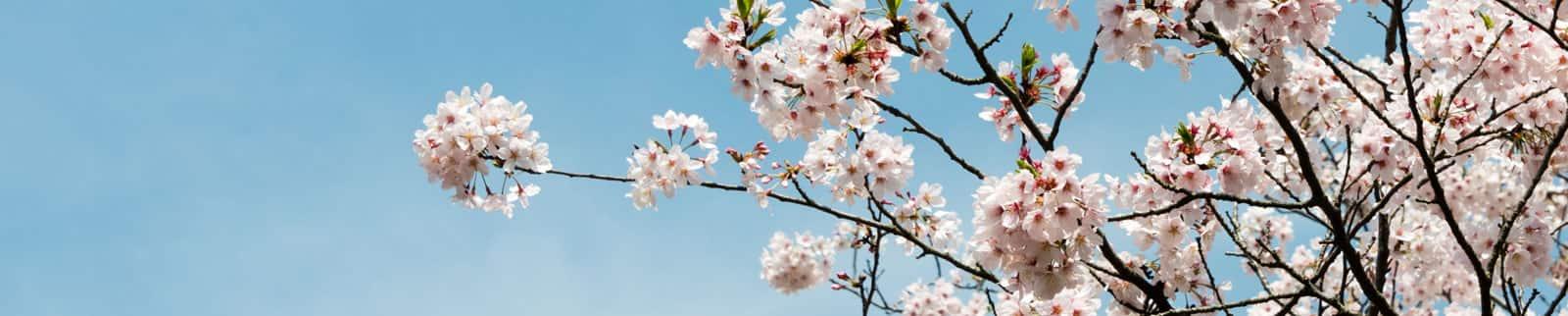 Cherry Blossom asiatique datant