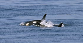 Ocean Wildlife & Orca Exploration