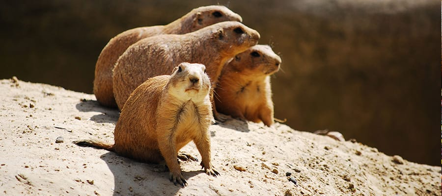 Prairie dogs on a Wellington Cruise