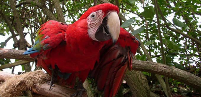 Macaw parrots invite you to the island of Jamaica