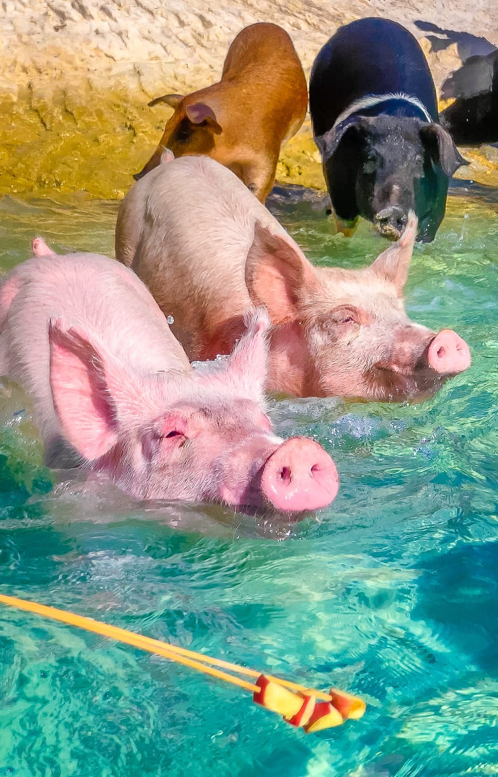 Swim with the Pigs On Your Bahamas Cruise to Great Stirrup