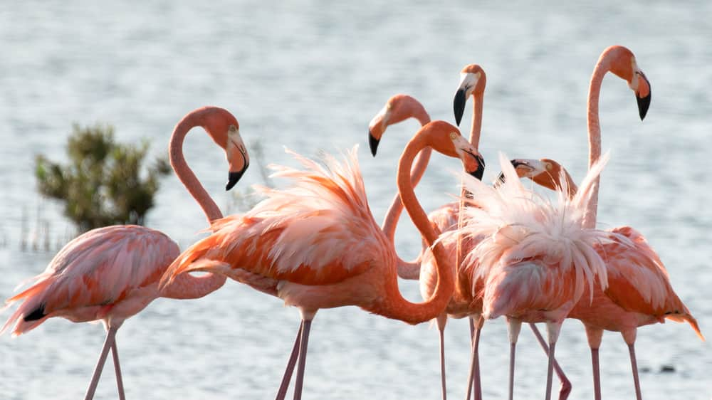 See Pink Flamingos on the Beach in Bonaire